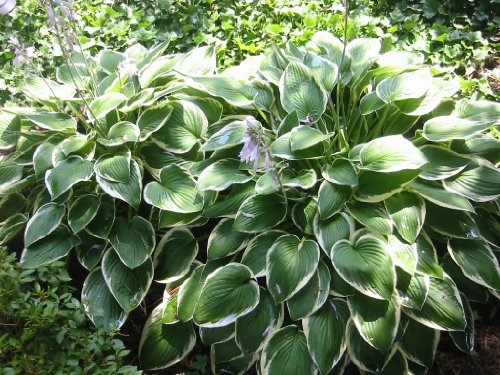 Live Plant -- Hosta Francee (Francee Hosta)