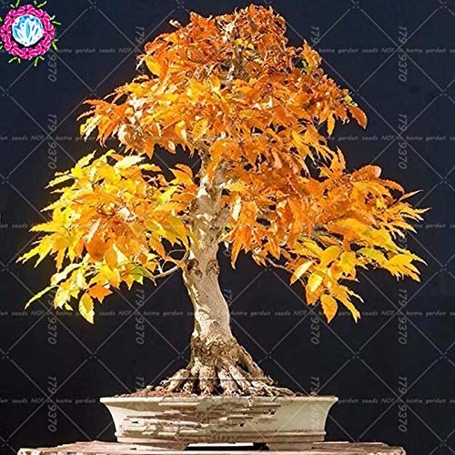 Elitely 50 Pcs//Bag Bonsai Maple Seed Mini Bonsai Seed for Indoor Seeds Can Put On Office Desk Decoration Life Home Garden 3