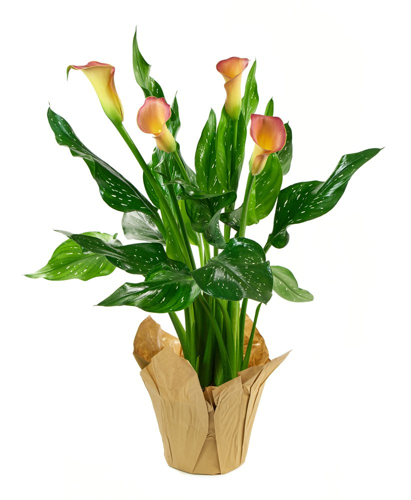 KaBloom Live Plant Collection: 15'' Peach Calla Lily Plant in a 4.5'' Kraft Covered Pot