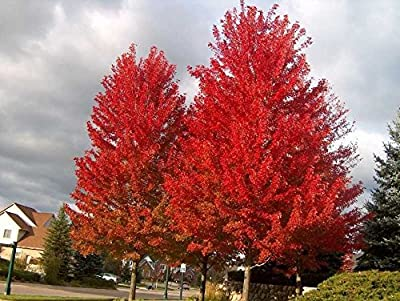 Red Maple, Acer Rubrum, 30 Tree Seeds (Northern Source, Fall Colors!)