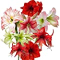 Reds, Pinks and Whites Amaryllis Magic Medley Mix Trio - 3 Premium Amaryllis Bulbs Mixed Colors & Varieties - Outstanding Indoor Blooms!