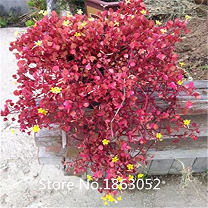 Amazon pack 200 seed red wood sorrel seeds oxalis corymbosa pack 200 seed red wood sorrel seeds oxalis corymbosa four leaf clover flower seeds rare flower mightylinksfo