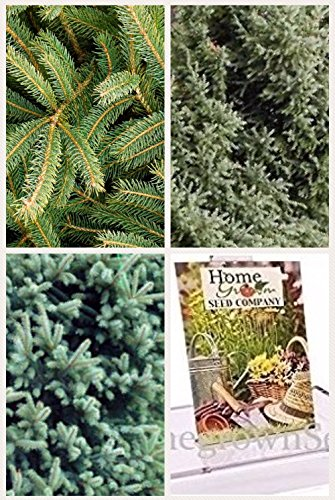 Homegrown Spruce Seeds, Bulk Seeds, Black Hills Spruce Tree, Quantity (100)