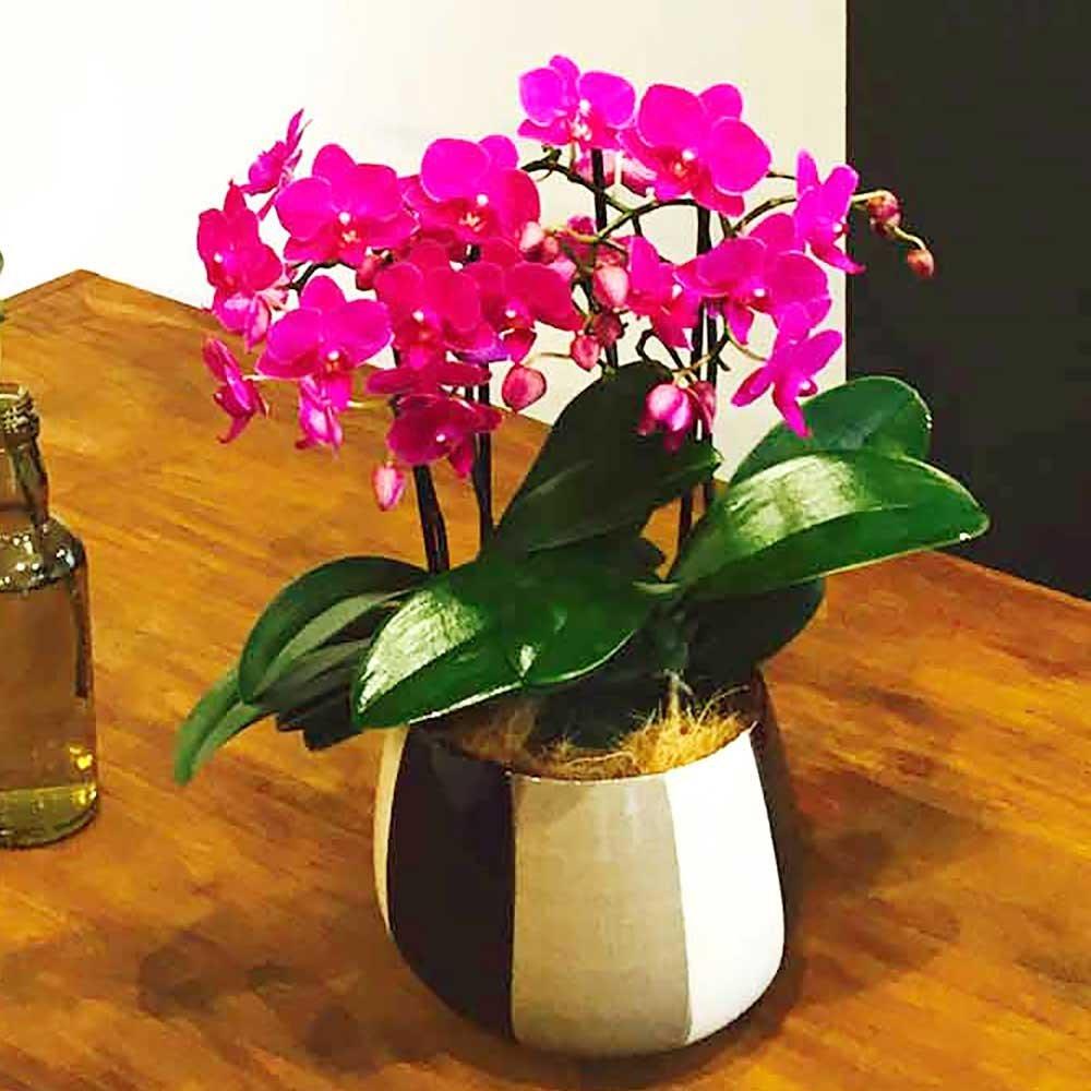 胡蝶蘭 ギフト シルバー舟形鉢 5.5号鉢 3本立 ピンク/ラッピング&メッセージ無料花のプレゼント 生花 (ピンク2) B07CPQF4H2 ピンク2 ピンク2