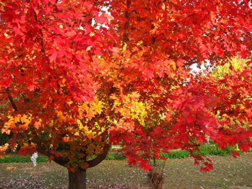 (New Red Maple , Acer rubrum , 30 + Tree Seeds ( Fall Color , Fast , Hardy ))