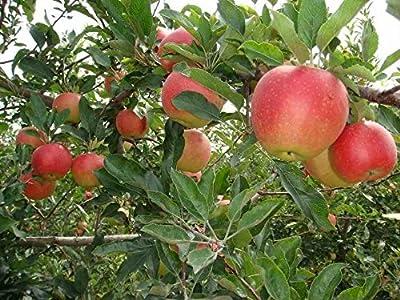 Gala Apple Tree Certified 5 Seeds #3934 Item UPC#636134972397