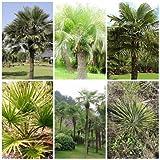 Mescolanza di gelo forte 6 generi 60 semi di yucca di palme