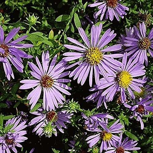 Everwilde Farms - 1000 Aromatic Aster Native Wildflower Seeds - Gold Vault Jumbo Seed ()