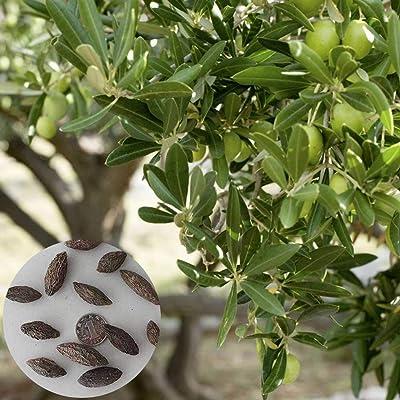 Olive Tree Seed 50Pcs Olive Tree Seeds Ornamental Plant Garden Backyard Balcony Bonsai Decor - Olive Tree Seeds : Garden & Outdoor