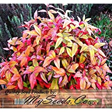15 x Nana Heavenly Bamboo - Dwarf Heavenly Bamboo Seeds - Nandina domestica Nana - STANDS ONLY 2 FEET TALL - An Evergreen In Sun Or Shade - Cold Hardy Zone 6 - By MySeeds.Co (5 Packs)