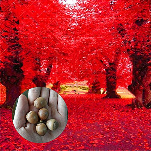 Red Oak Tree Seeds for Planting | 10 Seeds | Highly Prized for Bonsai, Red Oak Tree - 10 Seeds