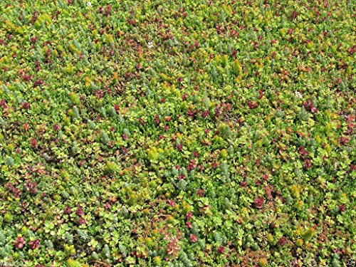 500 Sedum Seeds-Roof Garden- Beautiful Mix Colors - Greens,Yellows,Reds and Purple !