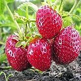 Ft. Laramie Everbearing 100 Live Strawberry Plants, NON GMO