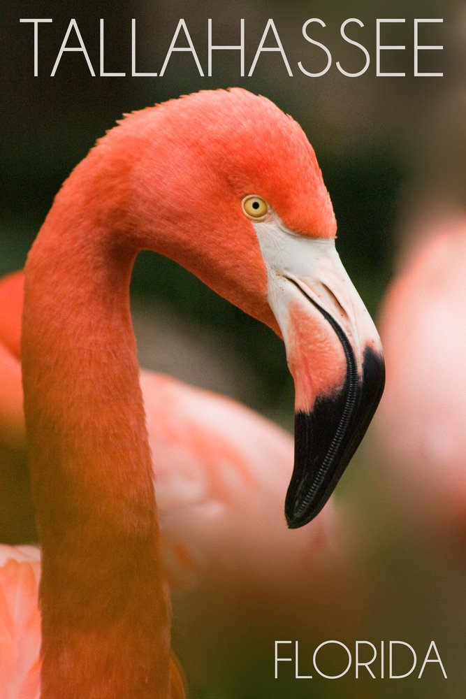 Tallahassee、フロリダ州 – Flamingo Up Close 36 x 54 Giclee Print LANT-54157-36x54 36 x 54 Giclee Print  B017E9UYWS