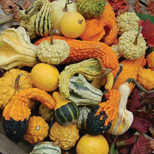 Small gourds - Ornamental Pumpkin Mix (15 Seeds)]()