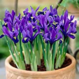 Flower Bulbs,Dwarf Iris Reticulata Harmony,fragrant, royal-blue w white (100)