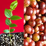 Camu Camu Myrciaria Dubia Vitamin C SuperFood Fruit Seedling PLANT Tree