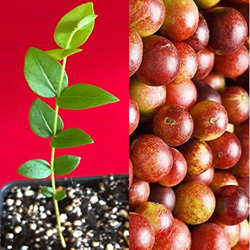 New and Healthy Camu Camu Myrciaria Dubia Vitamin C SuperFood Fruit Seedling PLANT Tree