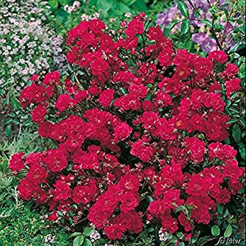 Rose Red The Fairy Bodendeckerrose Dunkelrosa Rote Bluten