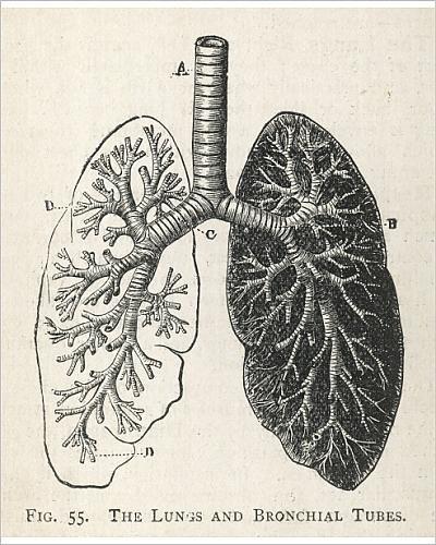 Amazon photographic print of diagram of the lungs and bronchial photographic print of diagram of the lungs and bronchial tubes ccuart Images