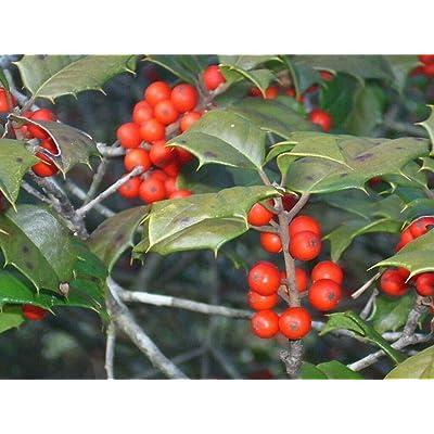 "20 Eleanor American Holly Seeds - Ilex opaca"" Eleanor"" : Garden & Outdoor"