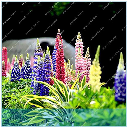 Seed 100pcs Lupine Russells Wildflower Polyphyllus Rare Bonsai Flower Perennial Plant Flowers ()