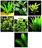 15 Live Aquarium Plants / 7 Different Kinds - Amazon Sword, Java Fern, Egeria and much more! Great plant sampler for 4-5 gal. mini- tanks!