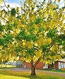 Cassia fistula, rare GOLDEN SHOWER TREE gold rush yellow flower seed 10 seeds