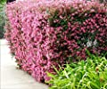Loropetalum Chinese Fringe Flower Plum Delight Qty 40 Live Flowering Plants
