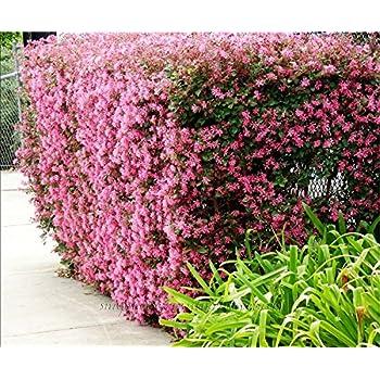 Amazon sizzling pink loropetalum chinese fringe flower loropetalum chinese fringe flower plum delight qty 40 live flowering plants mightylinksfo