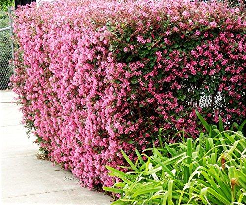 Loropetalum Chinese Fringe Flower Plum Delight Qty 40 Live Flowering Plants ()