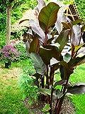 CANNA MUSEFOLIA - Indisches Blumenrohr 2 Rhizom