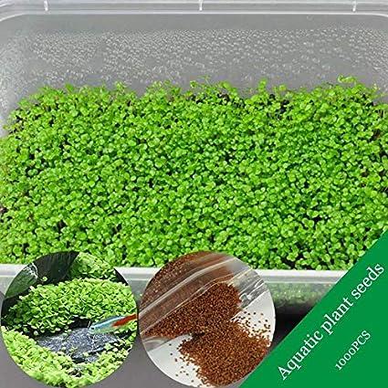 Amazon com: F T S  New 1000Pcs/Pack Aquarium Grass Seeds