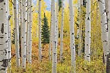 13.5-Feet wide by 9-Feet high.Prepasted robust wallpaper full wall size mural from a photo of: Aspen Forest Trees Elk Mountains. Easy to install remove and reuse. If you do as in our video