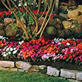 Park Seed Divine Mix New Guinea Impatiens Seeds