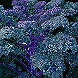 Borecole/Kale - redbor - 75 Seeds