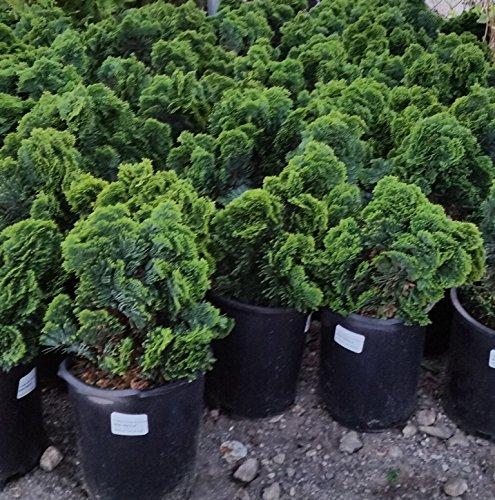Dwarf Hinoki Cypress (nana gracilis) - Live Plant - Trade Gallon Pot