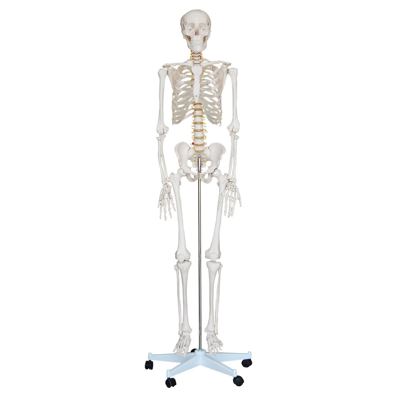 Skelett Modell Lebensgroß: Amazon.de: Drogerie & Körperpflege