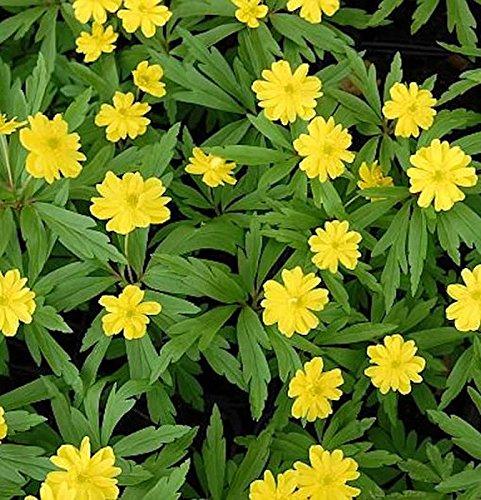 Anemone ranunculoides Gelbes Buschwindr/öschen Semiplena