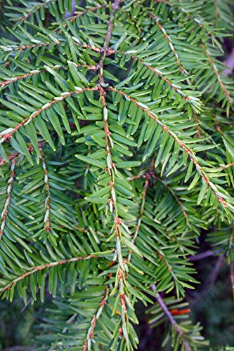 owzoneplant 12 Trees 2.5'' Potted Eastern Canadian Hemlock Hardy Established Heavily Rooted by owzoneplant (Image #1)