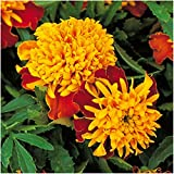 Package of 500 Seeds, Tiger Eye French Marigold (Tagetes patula) Non-GMO Seeds By Seed Needs