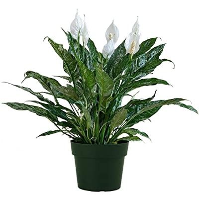 """AMERICAN PLANT EXCHANGE Variegated Spathiphyllum Domino Peace Lily Live Plant, 6"""" Pot, Top Indoor Air Purifier : Garden & Outdoor"""