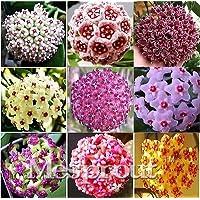 Hoya Carnosa Seeds, Hoya Fleshy Flower Seeds Garden Plants, perennial planting 100 seeds houseplants