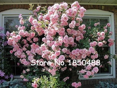 Pcs climbing semi di rosa pianta rara semi casa e giardino