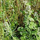 Everwilde Farms - 2000 Catnip Herb Seeds - Gold Vault Jumbo Seed Packet