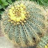 Ferocactus X glaucescens 20 Fresh Seeds Cacti Rare Cactus Seed