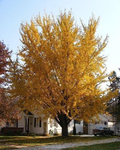 50-ginkgo-tree-seeds-ginkgo-biloba