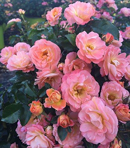 Peach Drift Rose - Disease Resistant - 4