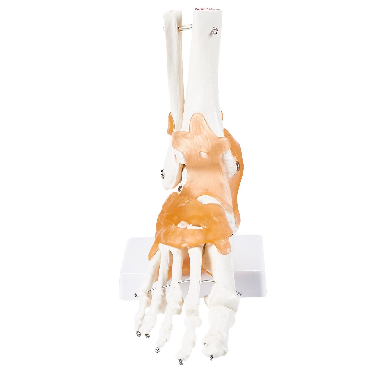 Human Ankle Model Foot Anatomical Model With Ligaments For Science