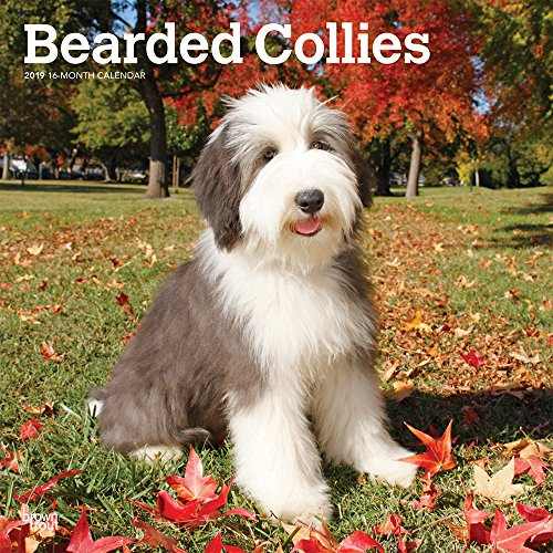 Bearded Collies 2019 12 x 12 Inch Monthly Square Wall Calendar, Animals Dog Breeds Bearded Collies Bearded Collie Dog Breed